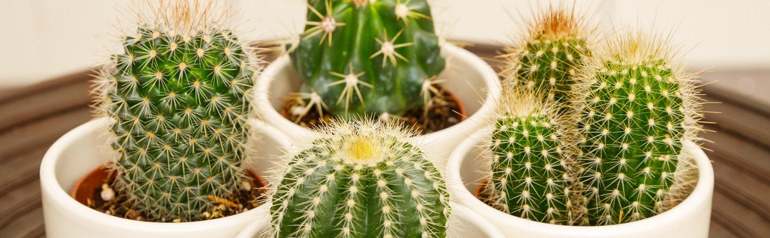 Kaktused ja sukulendid