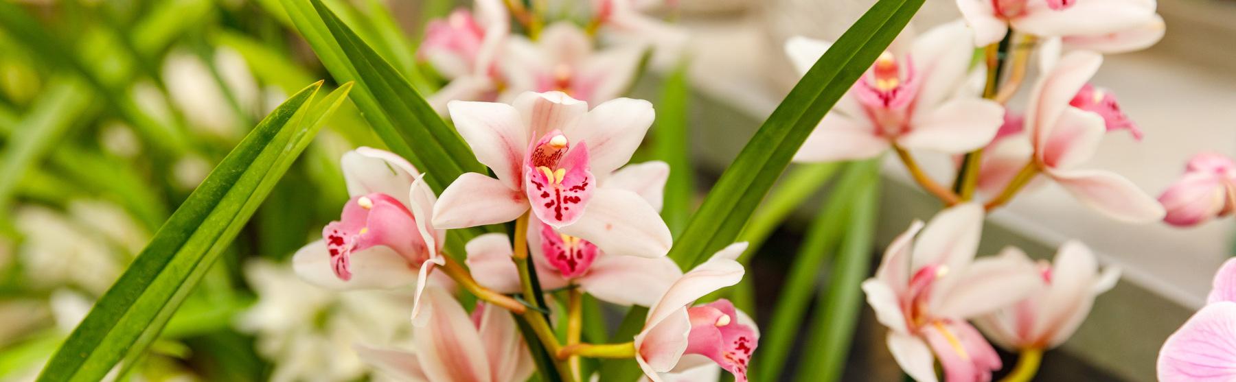 Orhideed