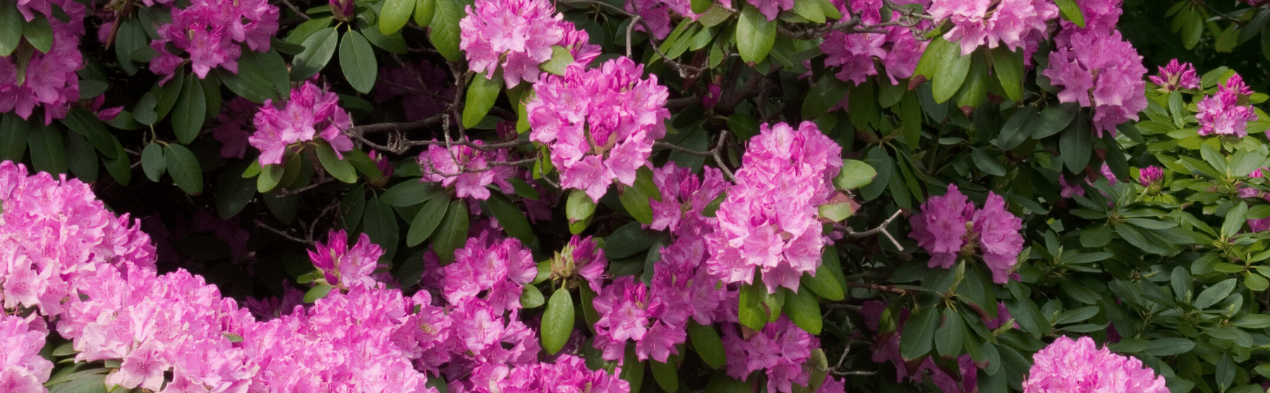 Rododendronid