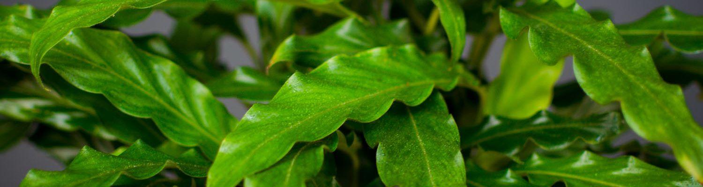 Rohelised toataimed