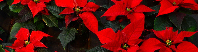Jõulutaimed