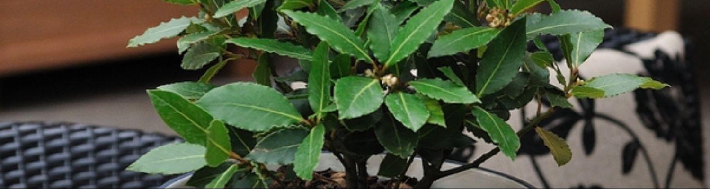 Loorberipuu