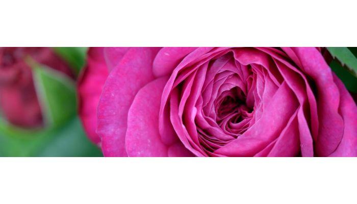Näpunäited rooside valimisel