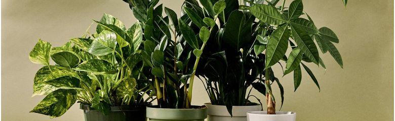 Puhas õhk koju või kontorisse roheliste taimede abil