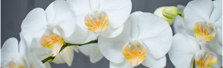 Kuidas oma orhideed uuesti õitsema saada?