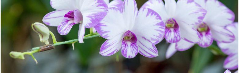 Orhidee kasvatamine