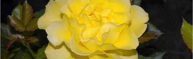 Mida tähendab roosisortidel ADR?