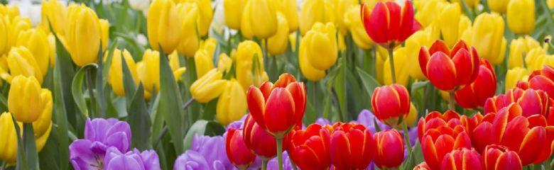 Soovitused, kuidas lillesibulaid maha pista