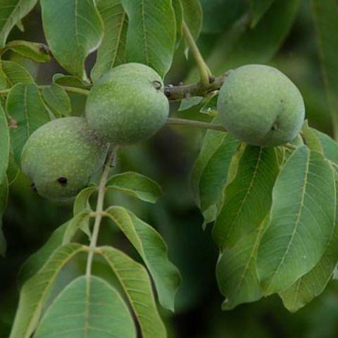 Kreeka pähklipuu 'Ideal' C12 50-60 cm