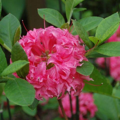 Rododendron (asalea) 'Homebush' C5