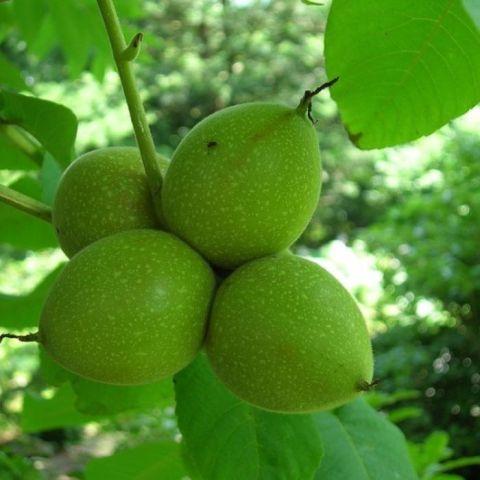 Jaapani pähklipuu C12 80-100 cm