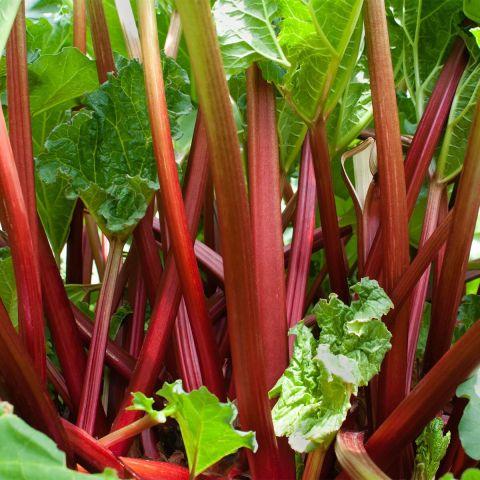 Kurdlehine rabarber 'Frambosen Red'