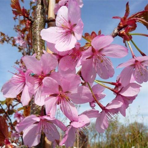 Sahhalini kirsipuu C7 150-180cm