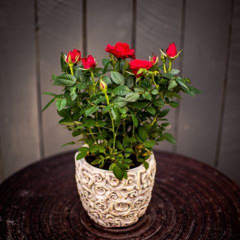 Potiroos 'Star Roses' P12 30 cm