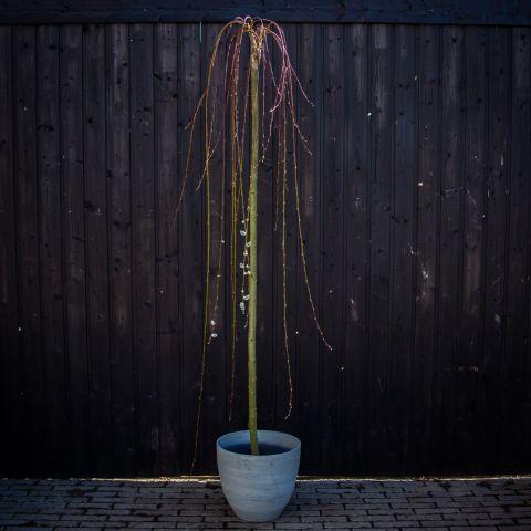 Raagremmelgas 'Kilmarnock'  180 cm tüvivorm