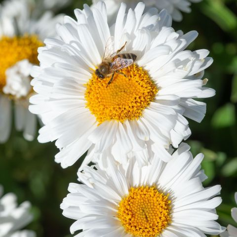Alpi aster 'Beauty White' P12