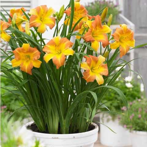 Päevaliilia 'Everydaylily™ Punch Yellow'® C2