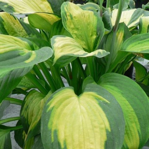 Sinihall hosta 'Great Expectations'