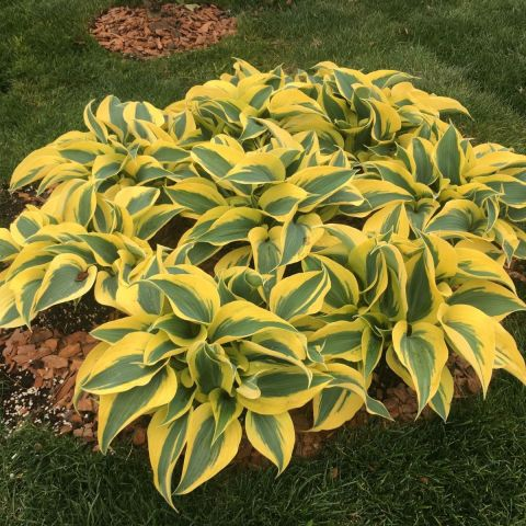 Hosta 'Autumn Frost' C2