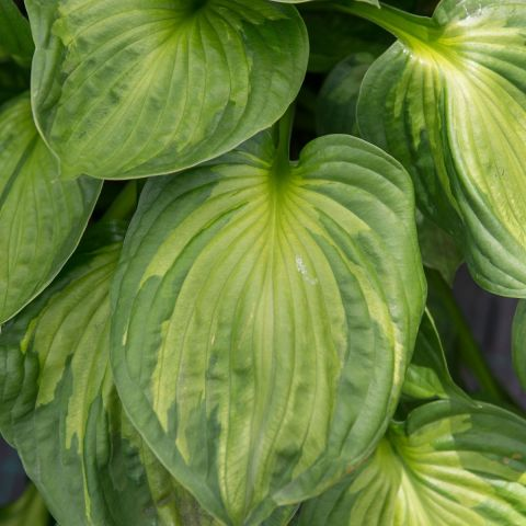 Hosta 'Colored Hulk' C2