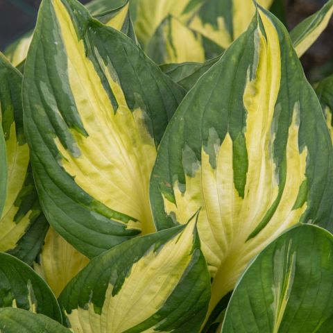 Hosta 'Morning Star'  C2