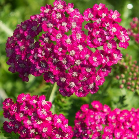 Raudrohi 'New Vintage Violet'® C2