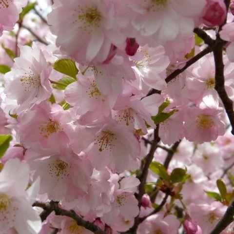 Kirsipuu 'Accolade' C3