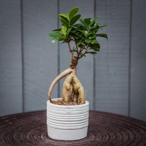 Väikeseviljaline viigipuu 'Ginseng' P11