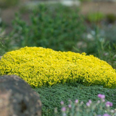 Kukehari 'Yellow Queen'