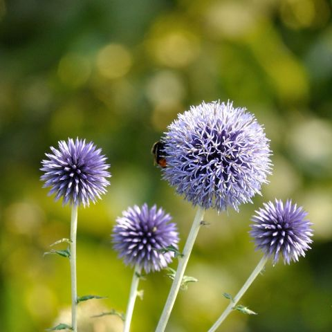 Sinine mesiohakas 'Veitchs Blue'