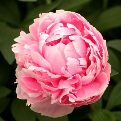 Pojeng 'Sarah Bernhardt' C3,5