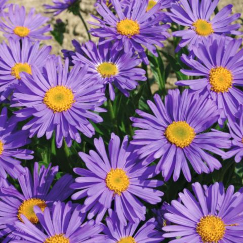 Alpi aster 'Beauty Blue'