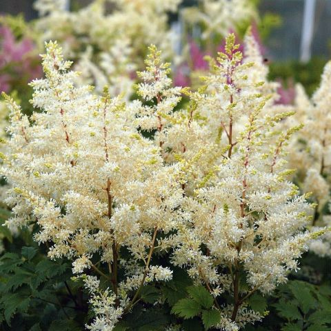 Astilbe 'Rock and Roll' C2