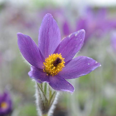 Harilik karukell 'Pinwheel Blue Violet'