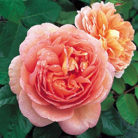 Inglise roos 'AUScot' ('Abraham Darby') C4