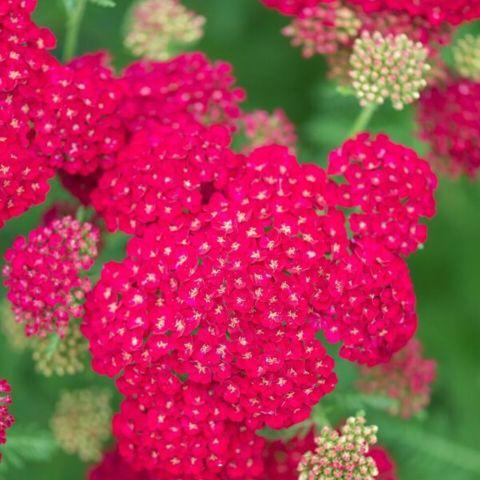 Raudrohi 'Pomegranate'