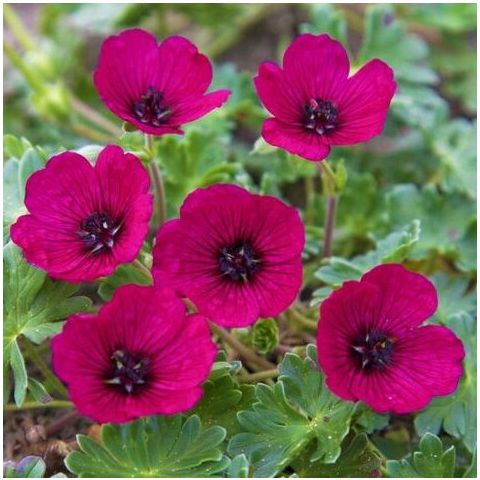 Kurereha 'Jolly Jewel Red'® C1,4