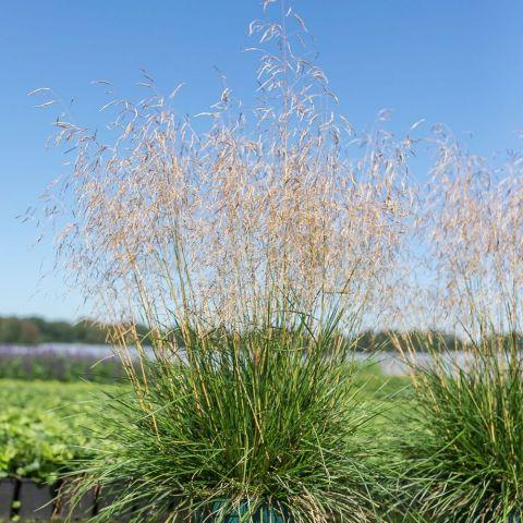 Luht-kastevars 'Tardiflora'