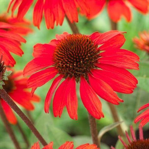 Purpur-siilkübar 'SunSeekers Red'®