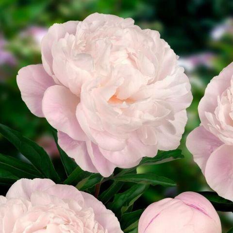 Pojeng 'Gardenia' C3,5