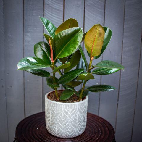 Kummi-viigipuu 'Robusta' P19 60 cm