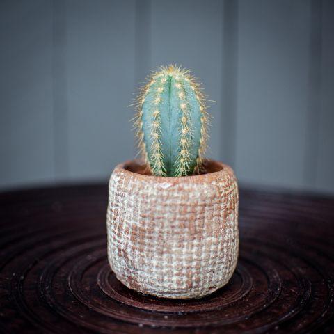 Kaktuste valik P5,5