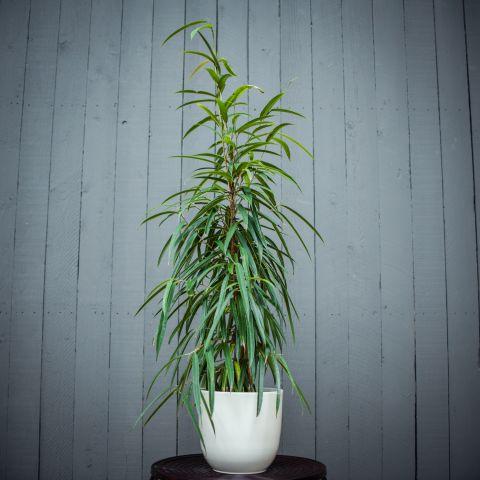 Ahtalehine viigipuu 'Alii' P21 105 cm