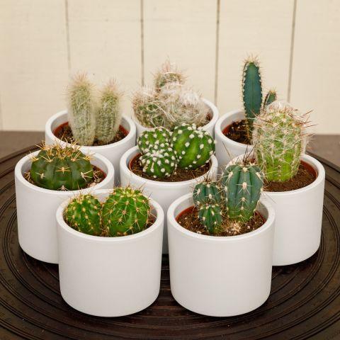Kaktus valik P8,5