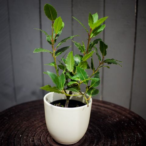 Harilik loorberipuu P9 25cm