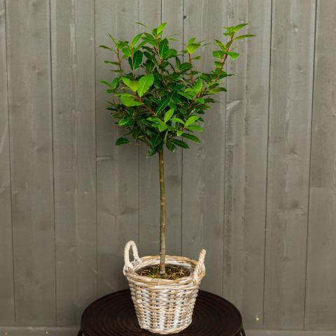 Harilik loorberipuu P17 80cm