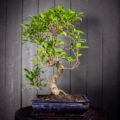 Bonsai mix P30 40 cm