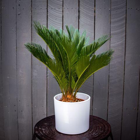 Rahu-palmlehik  P19 65 cm