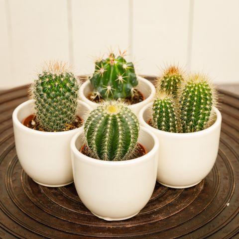 Kaktus valikP6,5