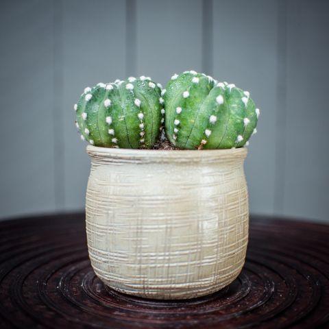 Kaktus valik P10,5